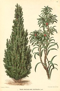Taxus baccata (the common yew)